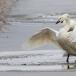 kleine-zwaan-tundra-swan-35