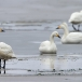 kleine-zwaan-tundra-swan-37