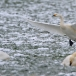 kleine-zwaan-tundra-swan-38