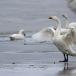 kleine-zwaan-tundra-swan-39