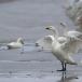 kleine-zwaan-tundra-swan-40