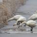 kleine-zwaan-tundra-swan-41
