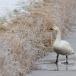 kleine-zwaan-tundra-swan-42