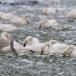 kleine-zwaan-tundra-swan-48