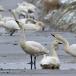 kleine-zwaan-tundra-swan-50