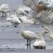kleine-zwaan-tundra-swan-51