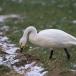 kleine-zwaan-tundra-swan-55