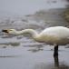 kleine-zwaan-tundra-swan-57