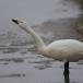 kleine-zwaan-tundra-swan-58