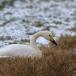 kleine-zwaan-tundra-swan-60