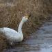 kleine-zwaan-tundra-swan-61