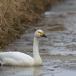 kleine-zwaan-tundra-swan-62
