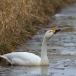 kleine-zwaan-tundra-swan-63