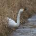 kleine-zwaan-tundra-swan-64
