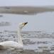 kleine-zwaan-tundra-swan-66