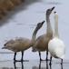 kleine-zwaan-tundra-swan-74