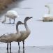 kleine-zwaan-tundra-swan-75