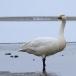 kleine-zwaan-tundra-swan-78