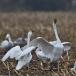kleine-zwaan-tundra-swan-79