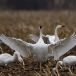 kleine-zwaan-tundra-swan-80