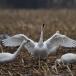 kleine-zwaan-tundra-swan-81