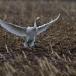 kleine-zwaan-tundra-swan-83