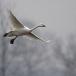 kleine-zwaan-tundra-swan-85