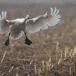 kleine-zwaan-tundra-swan-89