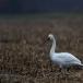 kleine-zwaan-tundra-swan-91