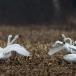 kleine-zwaan-tundra-swan-92
