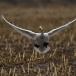kleine-zwaan-tundra-swan-99