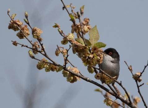 kleine-zwartkop-sardinian-warbler-04