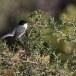 Kleine-zwartkop-Sardinian-Warbler-17