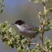 kleine-zwartkop-sardinian-warbler-01