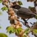 kleine-zwartkop-sardinian-warbler-03