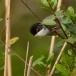 kleine-zwartkop-sardinian-warbler-05