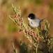 kleine-zwartkop-sardinian-warbler-06