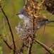 kleine-zwartkop-sardinian-warbler-11