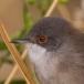 kleine-zwartkop-sardinian-warbler-13