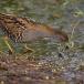 kleinst-waterhoen-baillons-crake-04