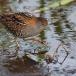 kleinst-waterhoen-baillons-crake-07