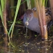 kleinst-waterhoen-baillons-crake-09