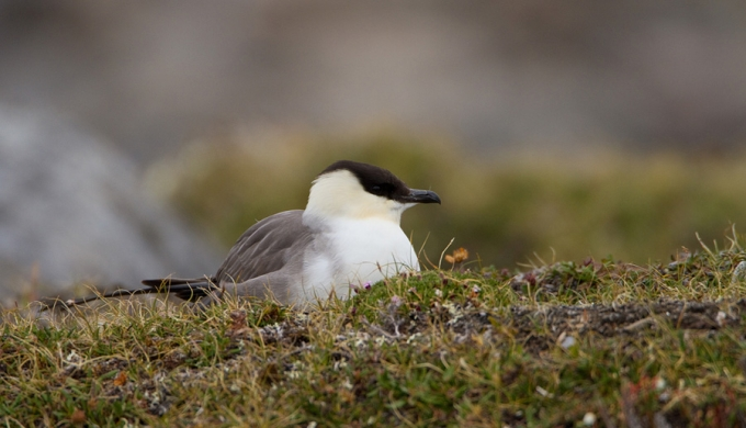 kleinste-jager-long-tailed-skua-02
