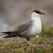 kleinste-jager-long-tailed-skua-03