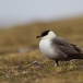 kleinste-jager-long-tailed-skua-04