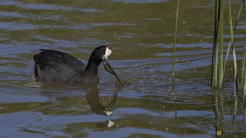 Knobbelmeerkoet - Red-knobbed Coot 03
