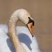 knobbelzwaan-mute-swan-04