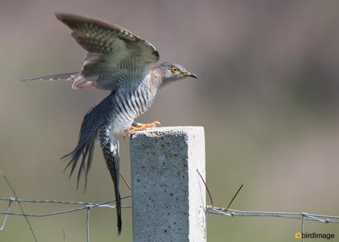 Koekoek - Common Cuckoo 08