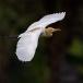 koereiger-cattle-egret-01