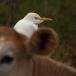 koereiger-cattle-egret-02_0